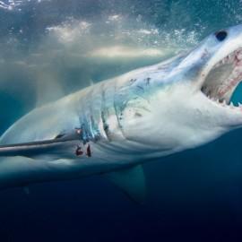 Requin Mako gueule ouverte