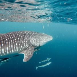 Requin baleine près de la surface