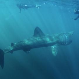 Requin pèlerin avec plongeurs