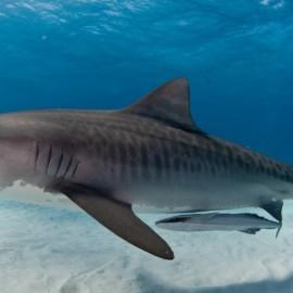 Requin tigre avec poissons