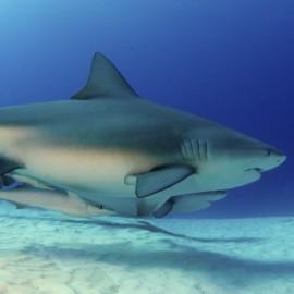 2 requins-bouledogues