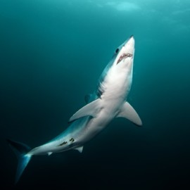 Le corps fuselé et hydrodynamique du requin Mako