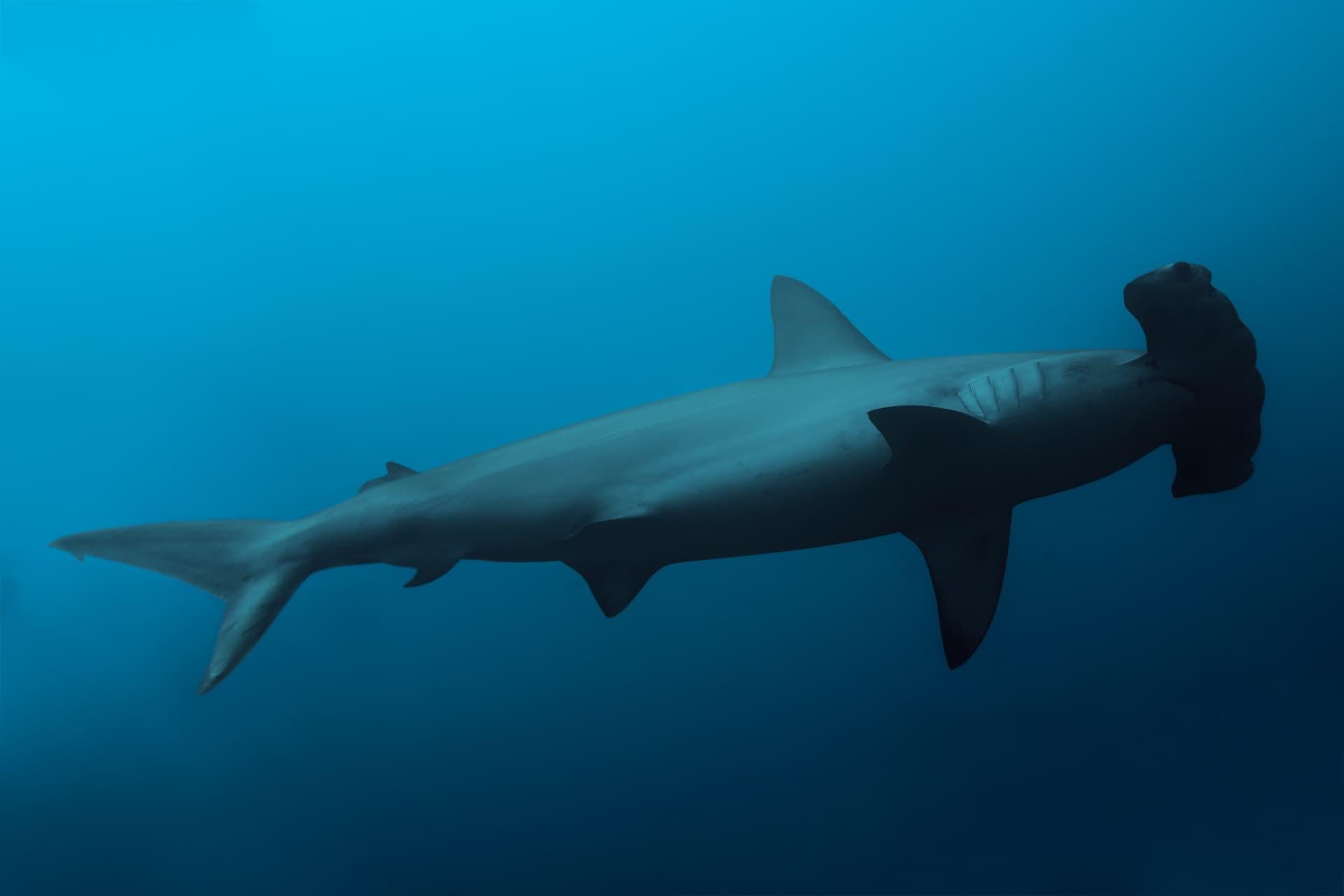 Le corps du requin-marteau