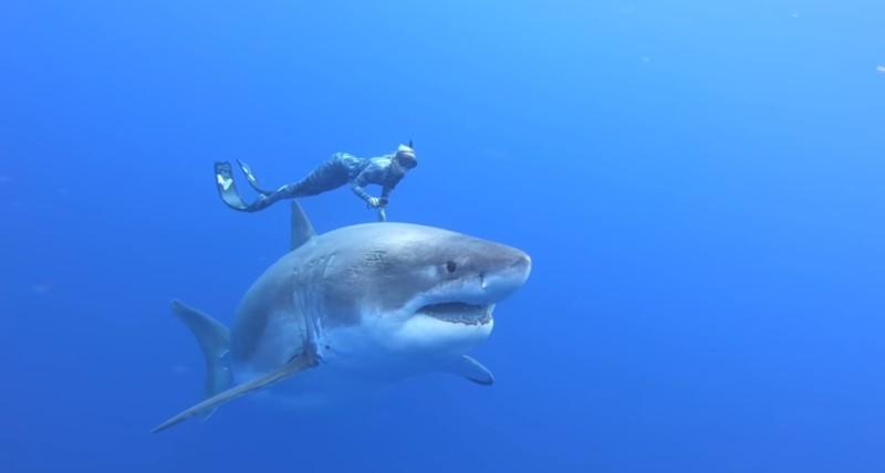 Deep Blue, le plus gros requin du monde