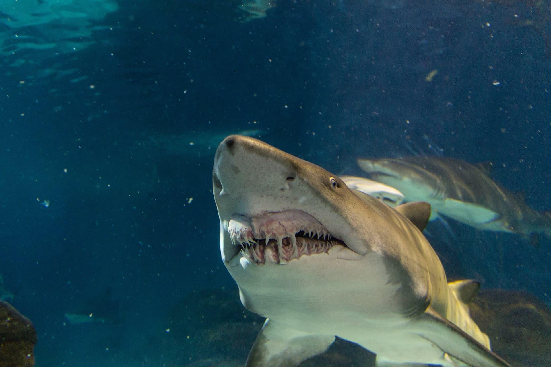 Dents de requin-taureau