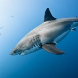 Un grand requin blanc dans le bleu de l'océan