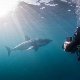 Un grand requin blanc filmé par un plongeur