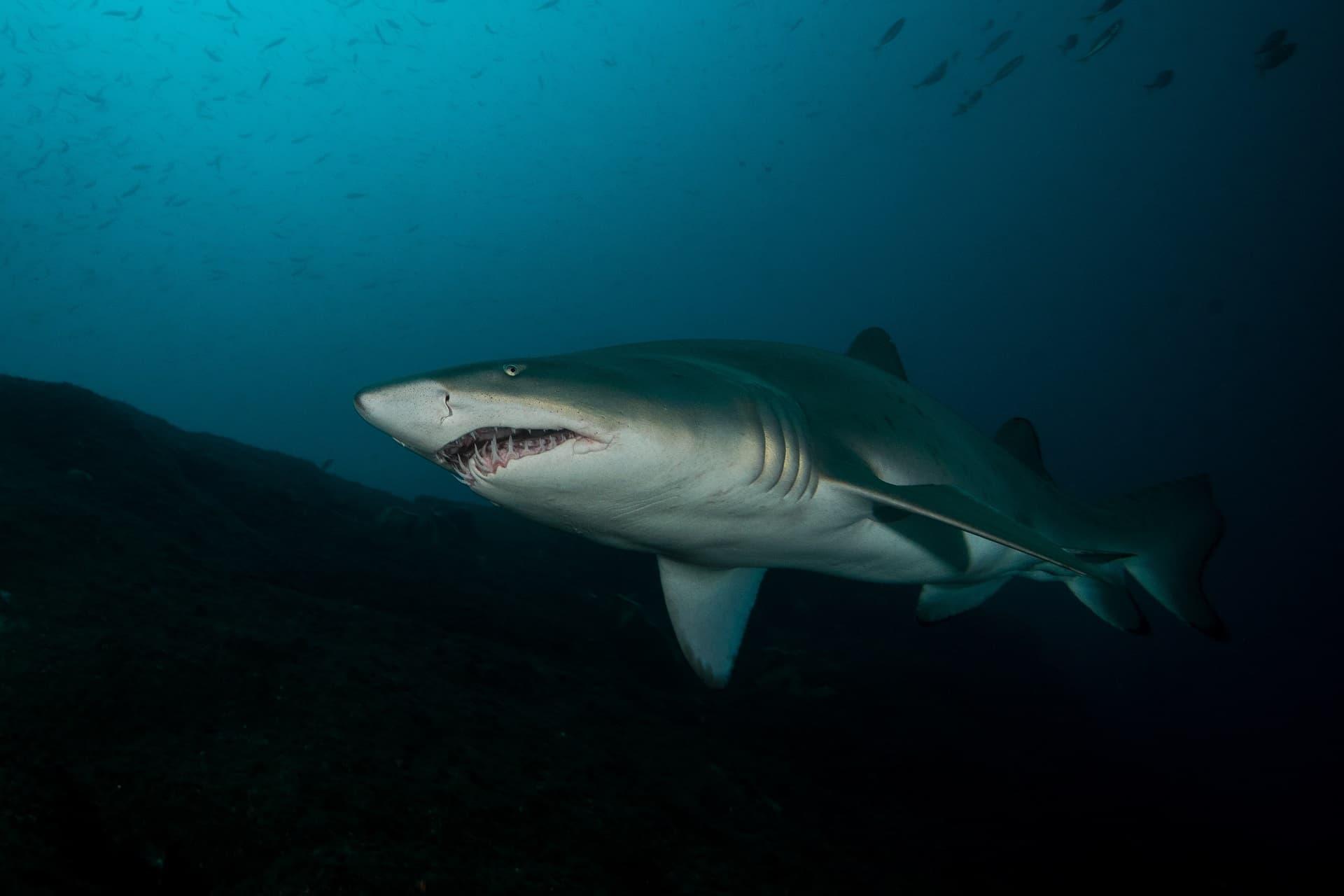 Morphologie du requin-taureau