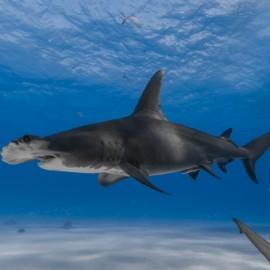 Grand requin-marteau vu de profil