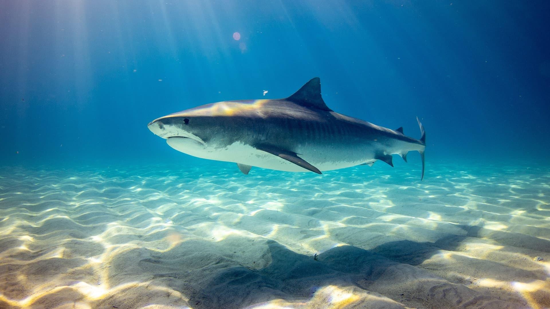 Reflet du requin tigre sur le sable du fond