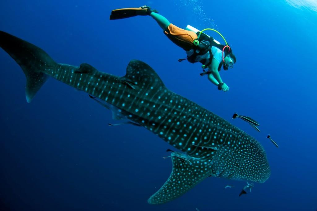 Un requin-baleine et un plongeur