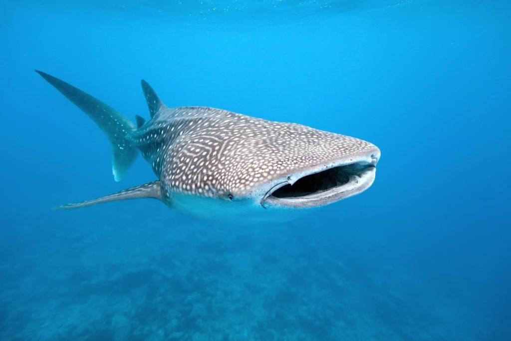 Requin-baleine la gueule ouverte