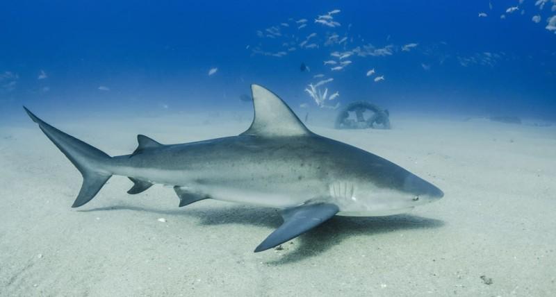 Requin-bouledogue