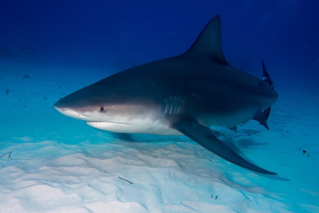 Requin-bouledogue au fond de l'océan