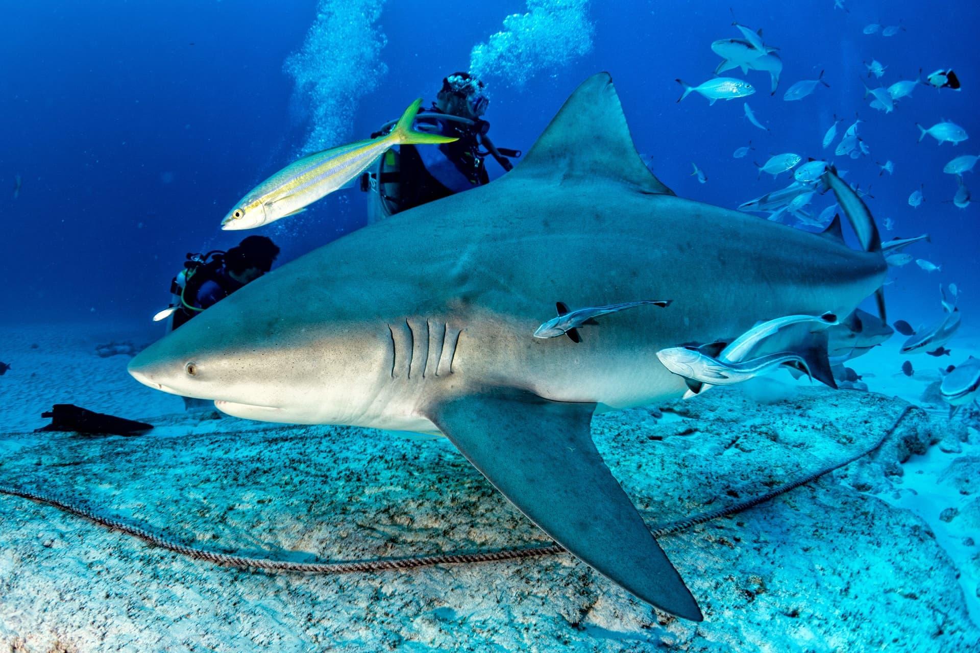 Requin-bouledogue avec des plongeurs