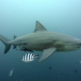 Requin-bouledogue et poissons pilote