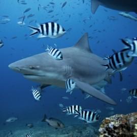Requin-bouledogue au milieu de poissons