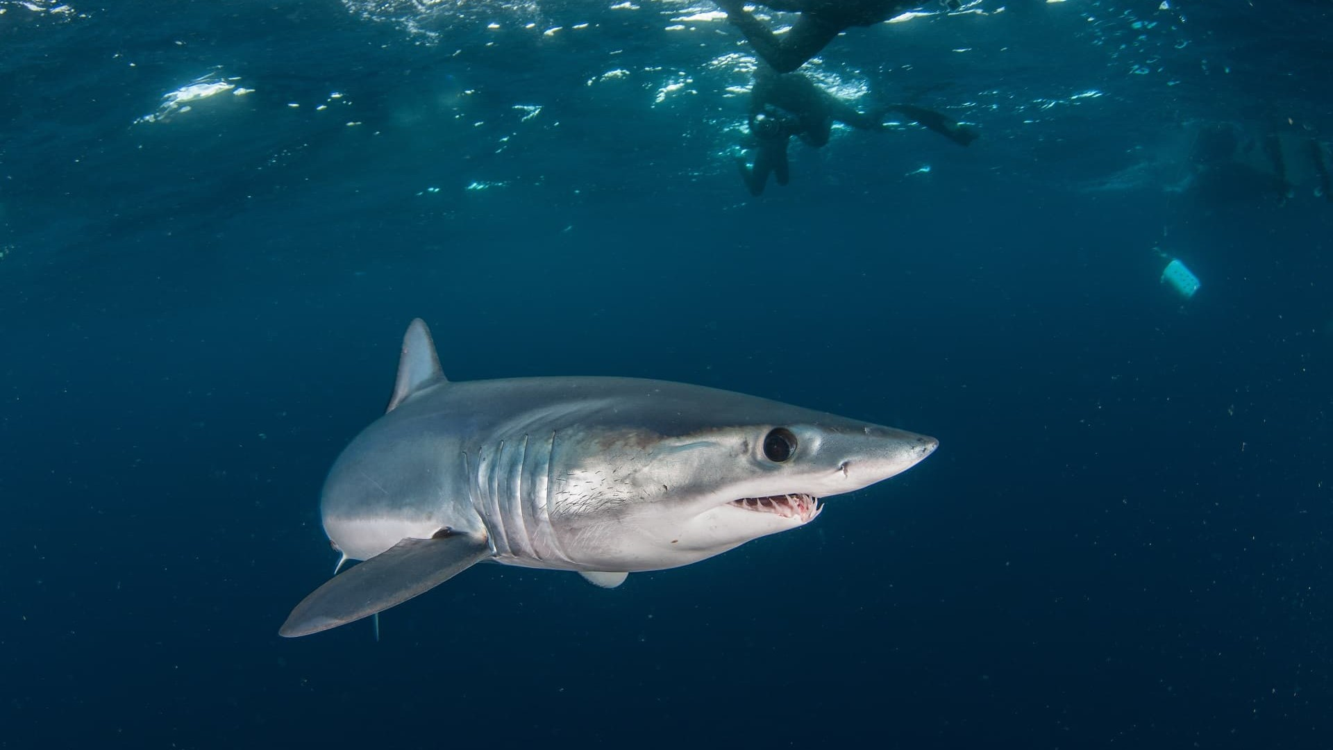 Requin Mako en présence de plongeurs
