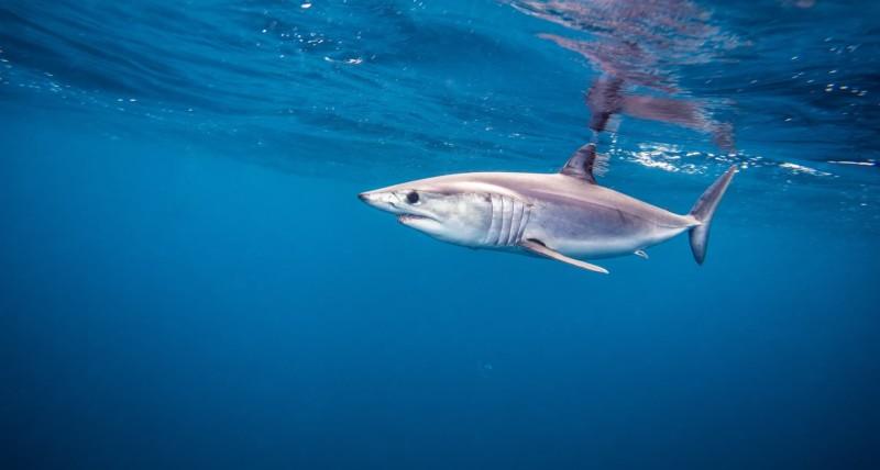 Requin Mako nageant près de la surface