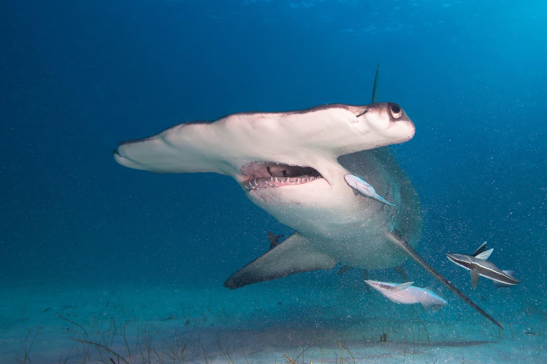 Requin-marteau la gueule ouverte