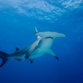 Requin-marteau au coeur de l'océan