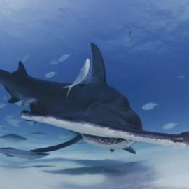 Requin-marteau entouré de poissons