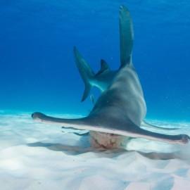 Requin-marteau dans le sable du fond de l'océan