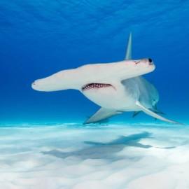 Requin-marteau vu de près