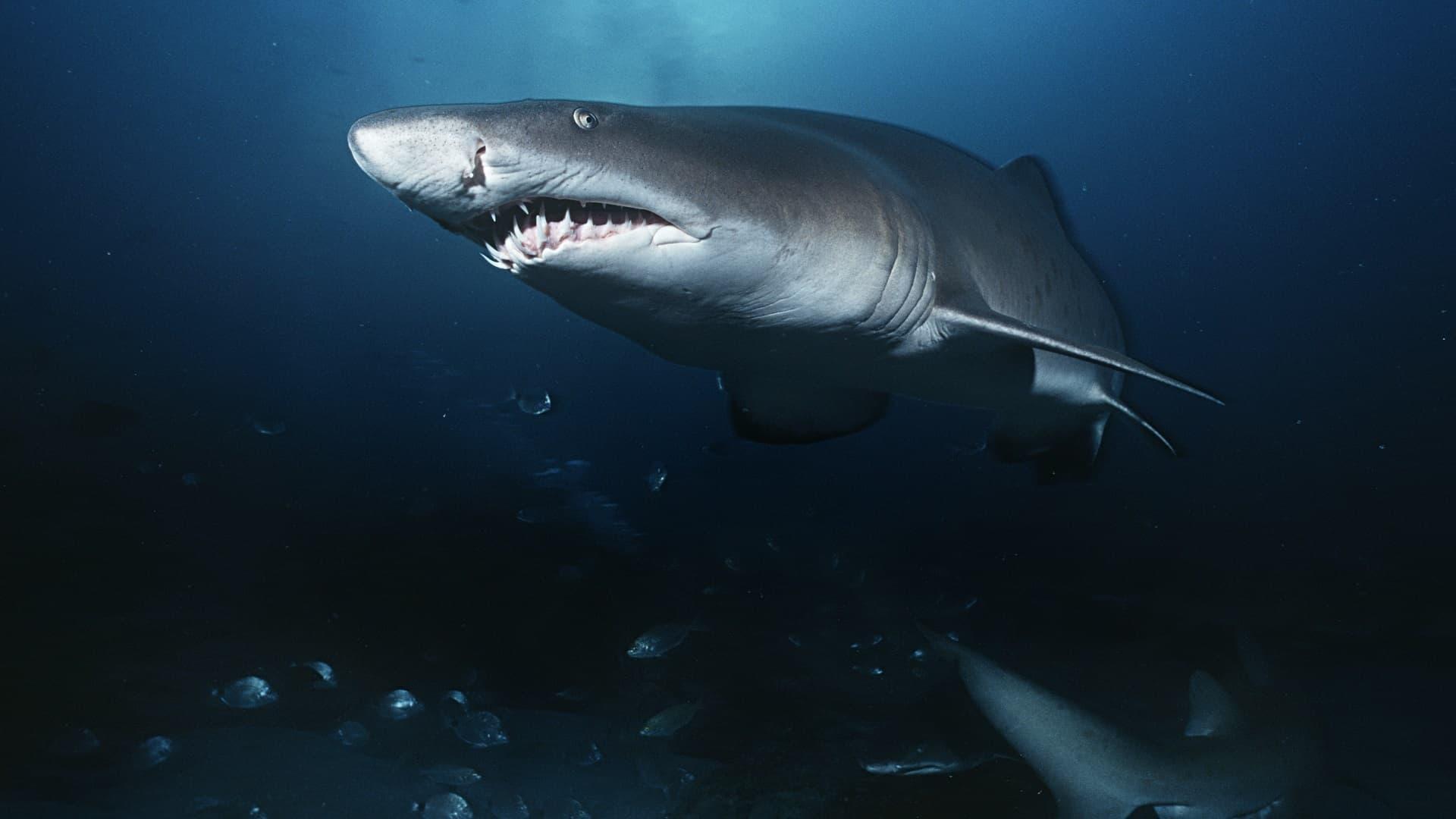 Requin-taureau