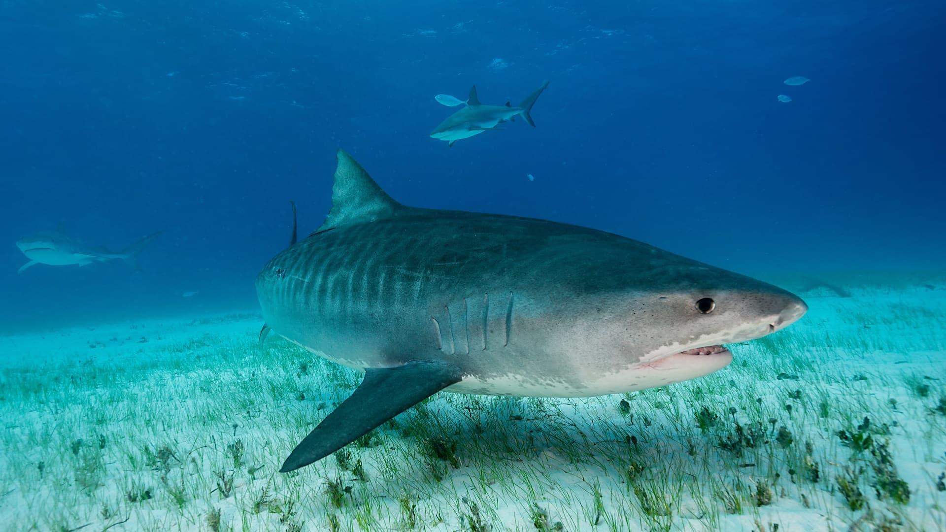 Un requin tigre nageant près du fond