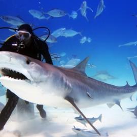 Requin tigre avec un plongeur et d'autres poissons