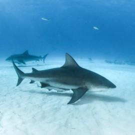 Requins-bouledogues au fond de l'océan