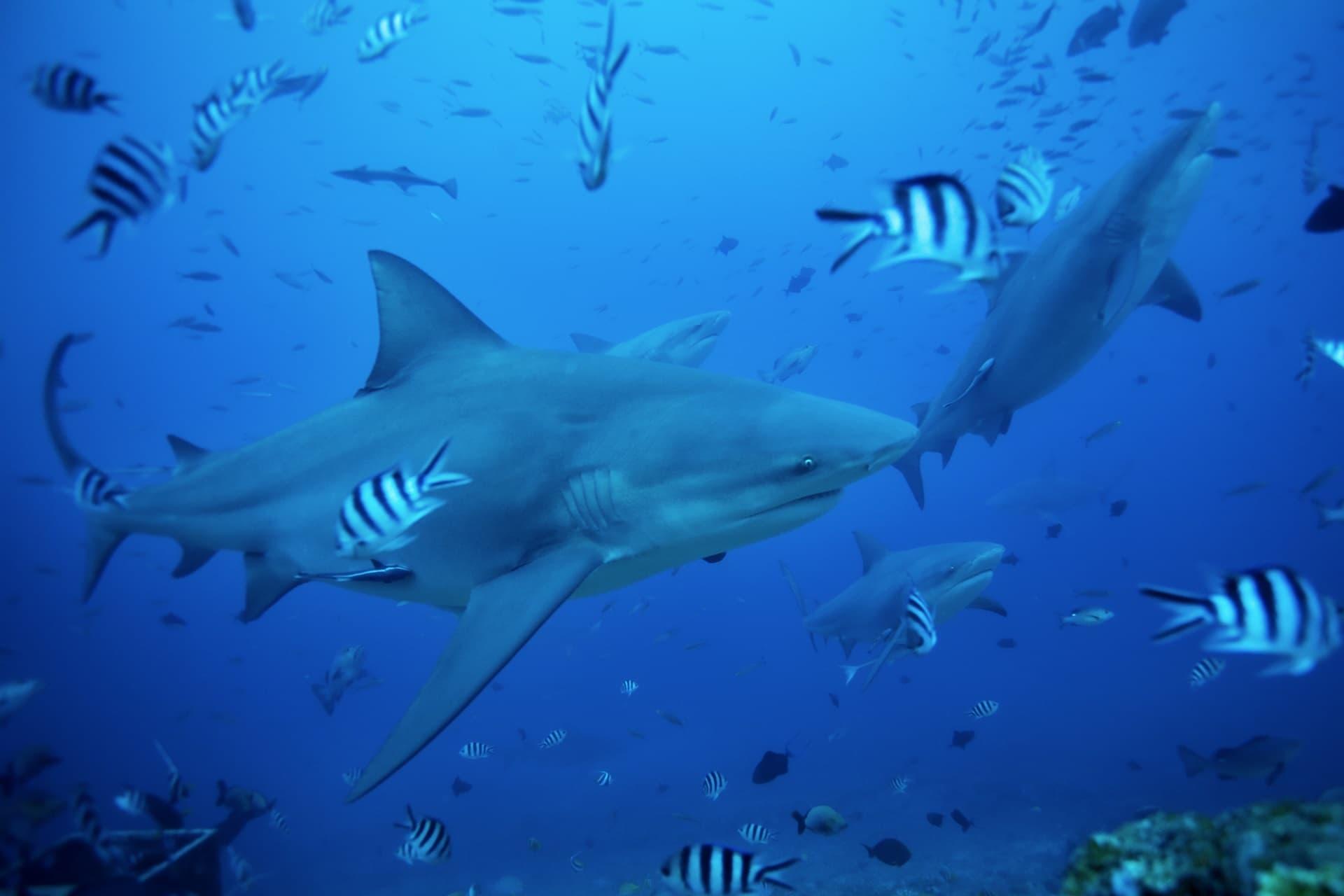 Des requins-bouledogues et des poissons