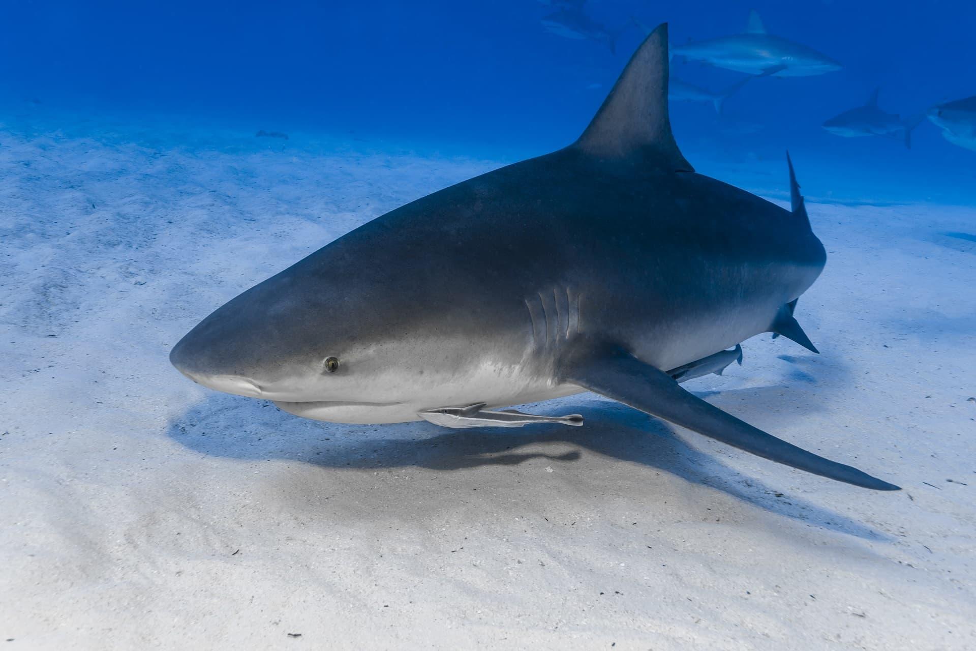Requins-bouledogues