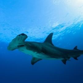 Grand requin-marteau sombre dans le bleu de l'océan
