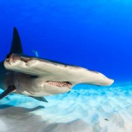 Tête de grand requin-marteau