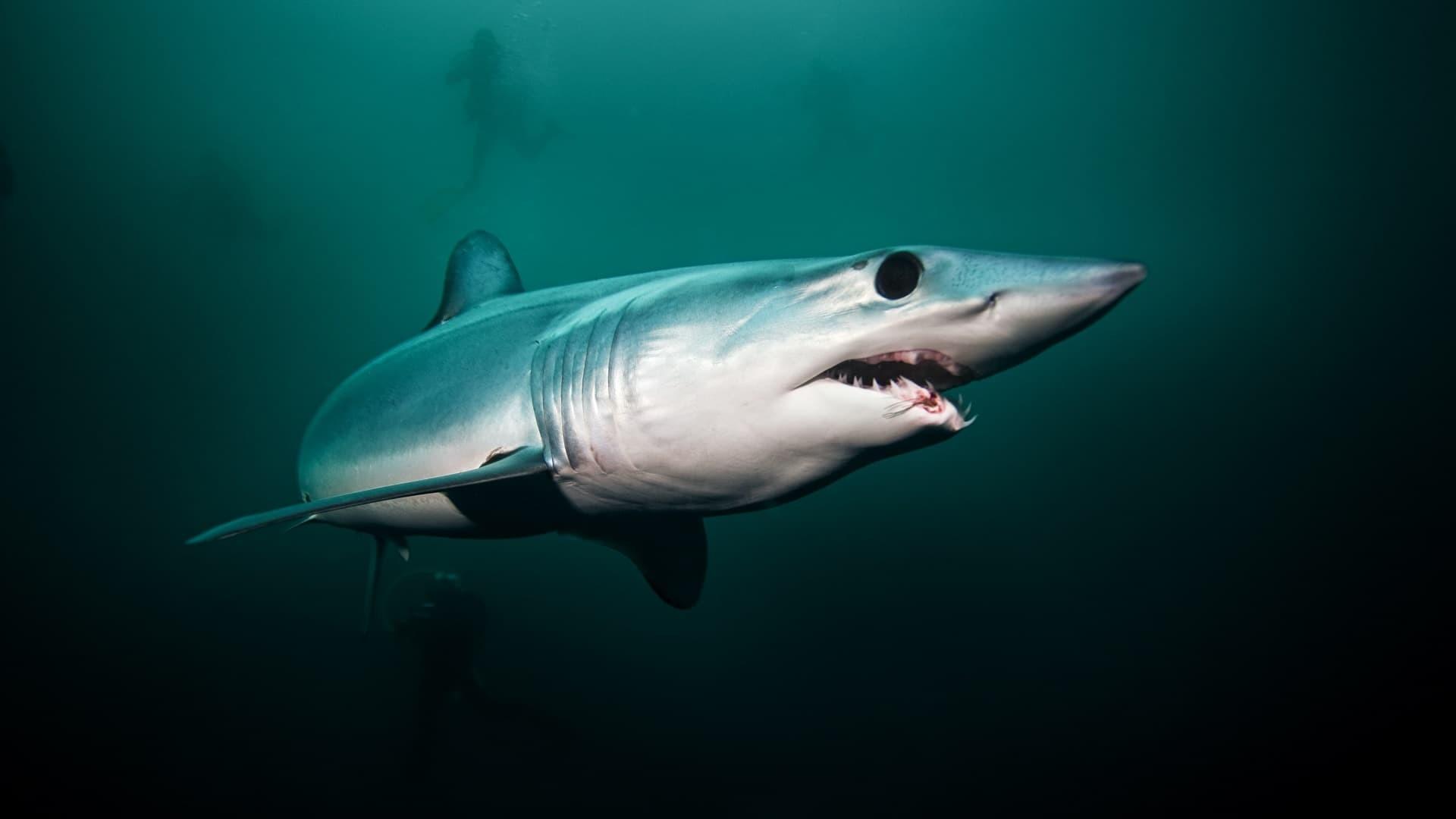 Les gros yeux noirs du requin Mako